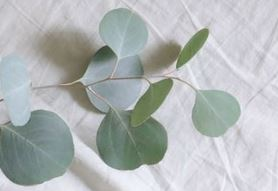 Eucalyptus (dupe) *NEW for 2019!