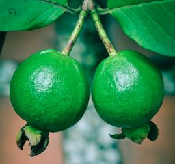 Tropical Guava Fragrance Oil *Surplus