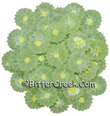 Green Daisy Wax Embeds