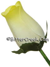 White Yellow Wood Roses