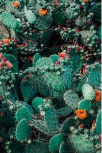 Christmas Cactus - 16oz