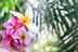Hawaiian Plumeria *NEW