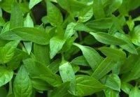 Sage & Pepper Leaf